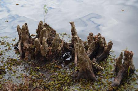 muck: Louisiana swamp