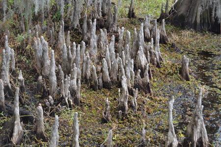 swamp: Louisiana swamp