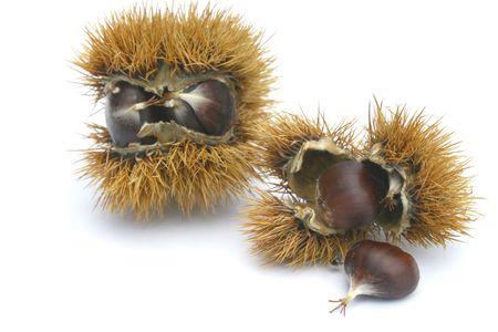 fagaceae: sweet chestnut