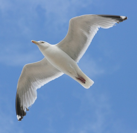 charadriiformes: Close-up of a flying gull, with blue sky background  Stock Photo