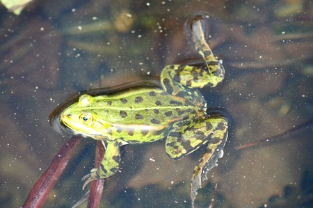 frog on lily pad: Detail view of a large green water frog