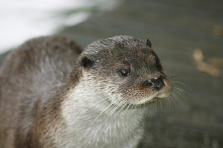 a portrait shot of a river otter