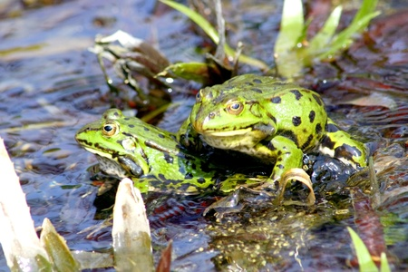frog on lily pad: Detail view of two green water frogs  Stock Photo