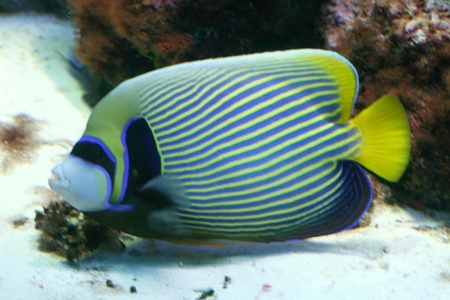 pomacanthus imperator: Pesci Angelo imperatore bella, vista laterale fantasia blu e gialli.