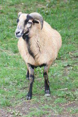 mouflon: View of a female mouflon (wild sheep)