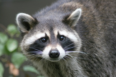 Close-up of a raccoon from the front