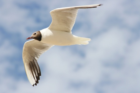 A Close-up of a flying black-headed gull   photo