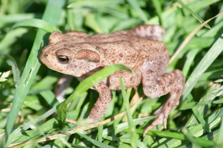 A small brown toad sitting in the grass   Stock Photo - 10519633