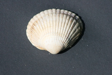yellow and white striped mussel shell on a black background