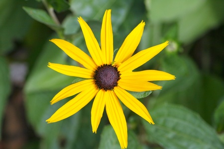 close up of a yellow flower blooming cone-flower (echinacea)