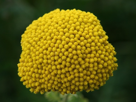Close-up of a yellow-flowering Fernleaf Yarrow (Achillea filipendulina) Stock Photo - 11204467
