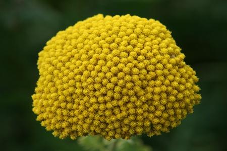 Close-up of a yellow-flowering Fernleaf Yarrow (Achillea filipendulina)