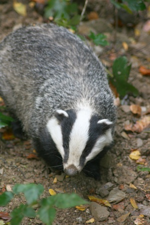 A badger  Melina  in the wild