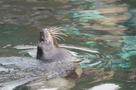 Detail view of a floating seal  Phoca vitulina Stock Photo - 12554511
