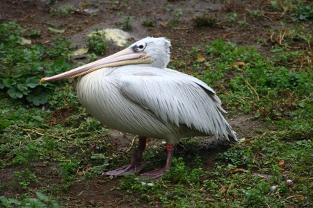 Young white pelican  Pelecanus onocrotalus  in the young bird plumage dress Stock Photo - 12554513