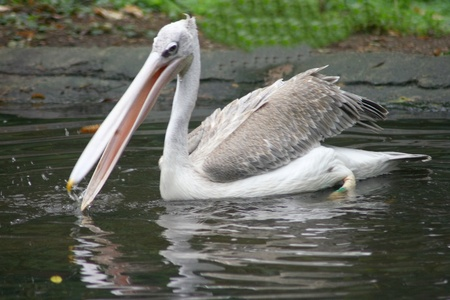 Young white pelican  Pelecanus onocrotalus  in the young bird plumage dress  photo