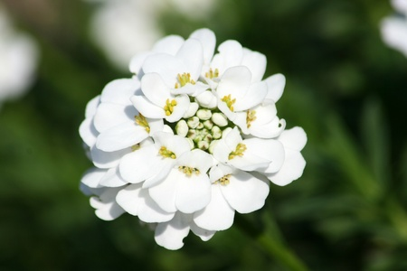 Closeup of a white-flowered candytuft (Iberis sempervirens)  Stock Photo
