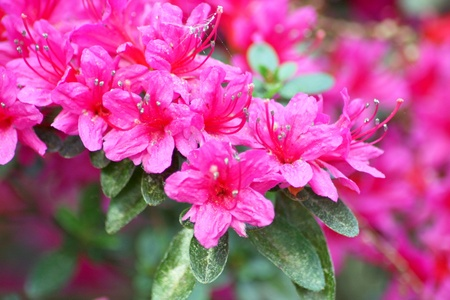 Close-up of the flowers of a rhododendron (Rhododendron)