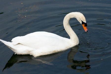 olor: A white adult Mute Swan  Cygnus olor  in the foraging  Stock Photo