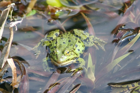 anuran: Detail view of a large green water frog