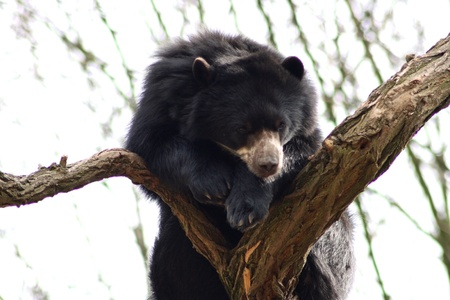 spectacled: Spectacled bear  Tremarctos ornatus , sitting on a tree