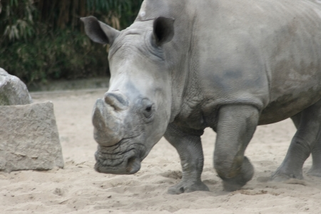 poaching: The white rhino  Ceratotherium simum  an endangered species