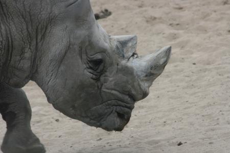 poaching: The white rhino  Ceratotherium simum  an endangered species