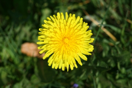 Close-up of a yellow dandelion flower