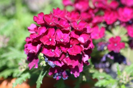 atilde: A red flowering Phlox  Phlox   Stock Photo