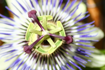 grenadilla: Closeup of a blue passion flower  Passiflora caerulea   Stock Photo