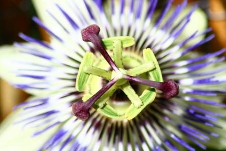 grenadilla: Closeup of a blue passion flower (Passiflora caerulea)