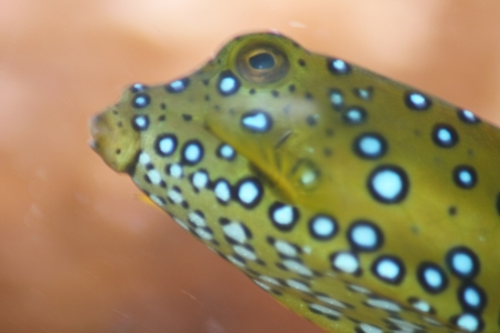 a portrait shot of a brown yellow boxfish  Ostracion cubicus Stock Photo - 15220265
