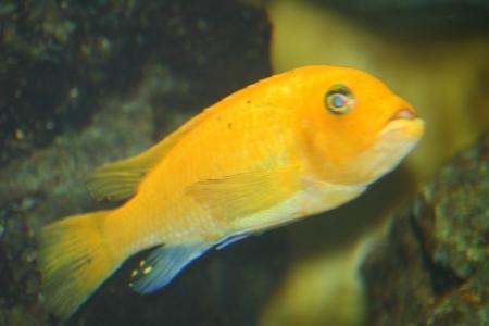 caeruleus: A single yellow cichlid,  Labidochromis caeruleus