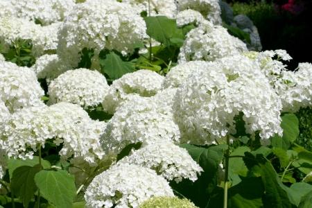 hydrangea macrophylla: Hydrangea, Hydrangea macrophylla ,  Hydrangea arborescens Annabell , hydrangea, bloom, flower, hydrangea bloom, plant, blooming, snowball, white,