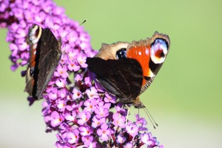 io: Peacock,  Inachis io  suck the nectar