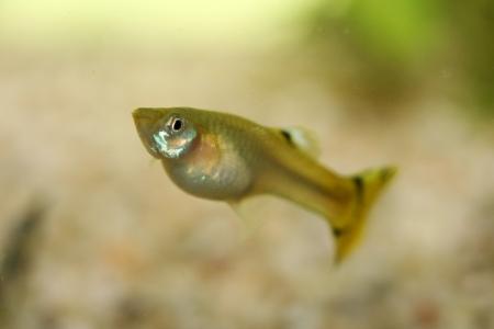 poecilia reticulata: A Female Guppy  Poecilia reticulata , a popular freshwater aquarium fish
