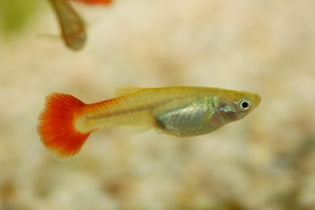 poecilia: A Female Guppy  Poecilia reticulata , a popular freshwater aquarium fish