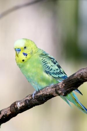 undulatus: Budgerigar  Melopsittacus undulatus  is a small parrot occurring in Australia Stock Photo