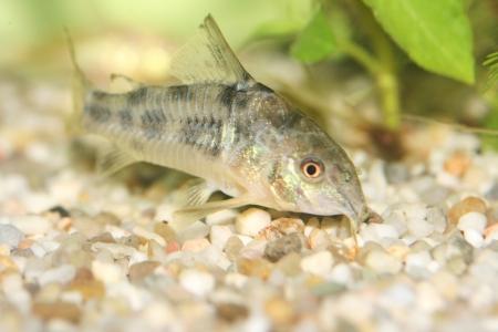 aquarium eau douce: Le marbr� de poisson-chat Corydoras paleatus, un poisson d'eau douce d'aquarium populaire