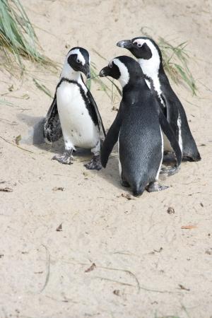 A group of Humboldt penguins  Spheniscus humboldti