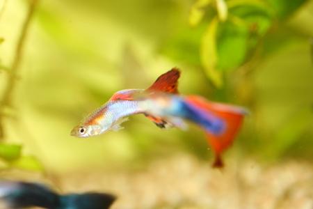 A male guppy  Poecilia reticulata , a popular freshwater aquarium fish Stock Photo