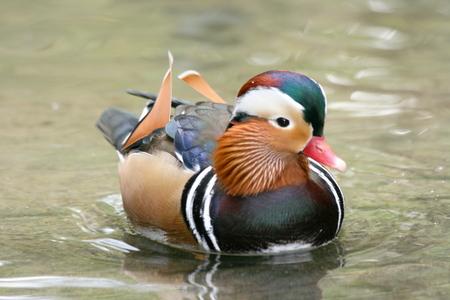 aix galericulata: a male Mandarin Duck (Aix galericulata) in water Stock Photo