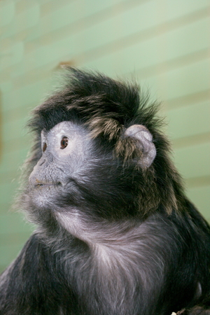 primate: Lutung, (Trachypithecus) or Lutungs, primate species from Asia