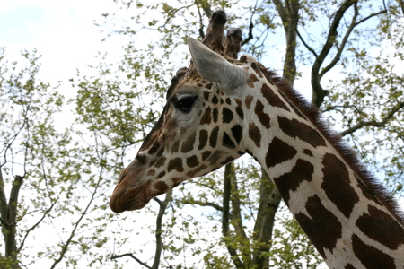 giraffa camelopardalis: a portrait shot of a giraffe (Giraffa camelopardalis)