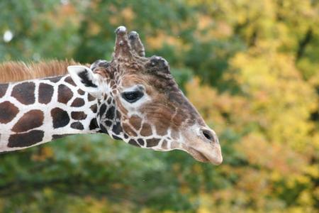 giraffa: a portrait shot of a giraffe (Giraffa camelopardalis)