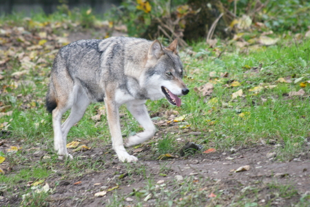 canis: Profile shot of an adult wolf (Canis lupus) Stock Photo