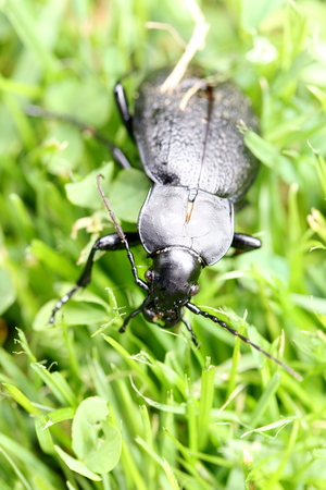 carabidae: Close up of a black beetles, on green background