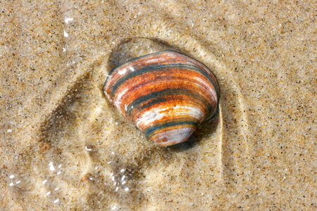 beachcombing: Brown, white striped conch shell lying in the sand Stock Photo