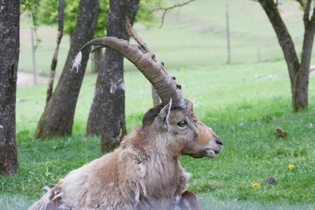 capra: Profile view of a handsome male ibex (Capra ibex), Stock Photo