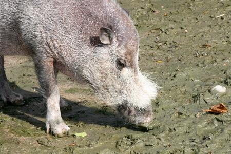 scrofa: Detail shot of a wild boar (Sus scrofa) Stock Photo
